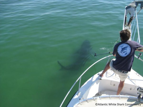 Photo courtesy of The Atlantic White Shark Conservancy